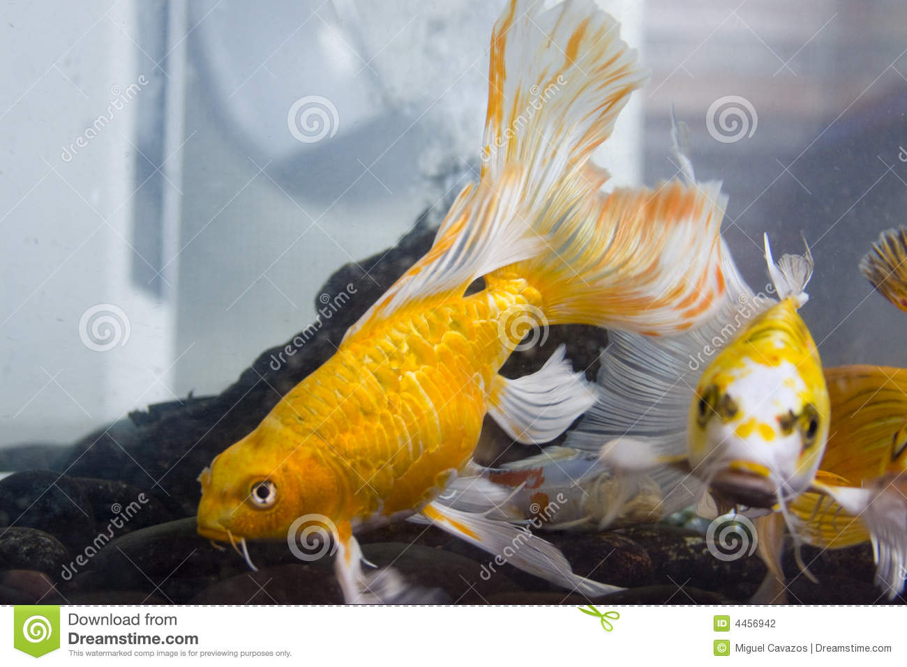 Yellow koi fish stock photography image 4456942 for Koi fish aquarium