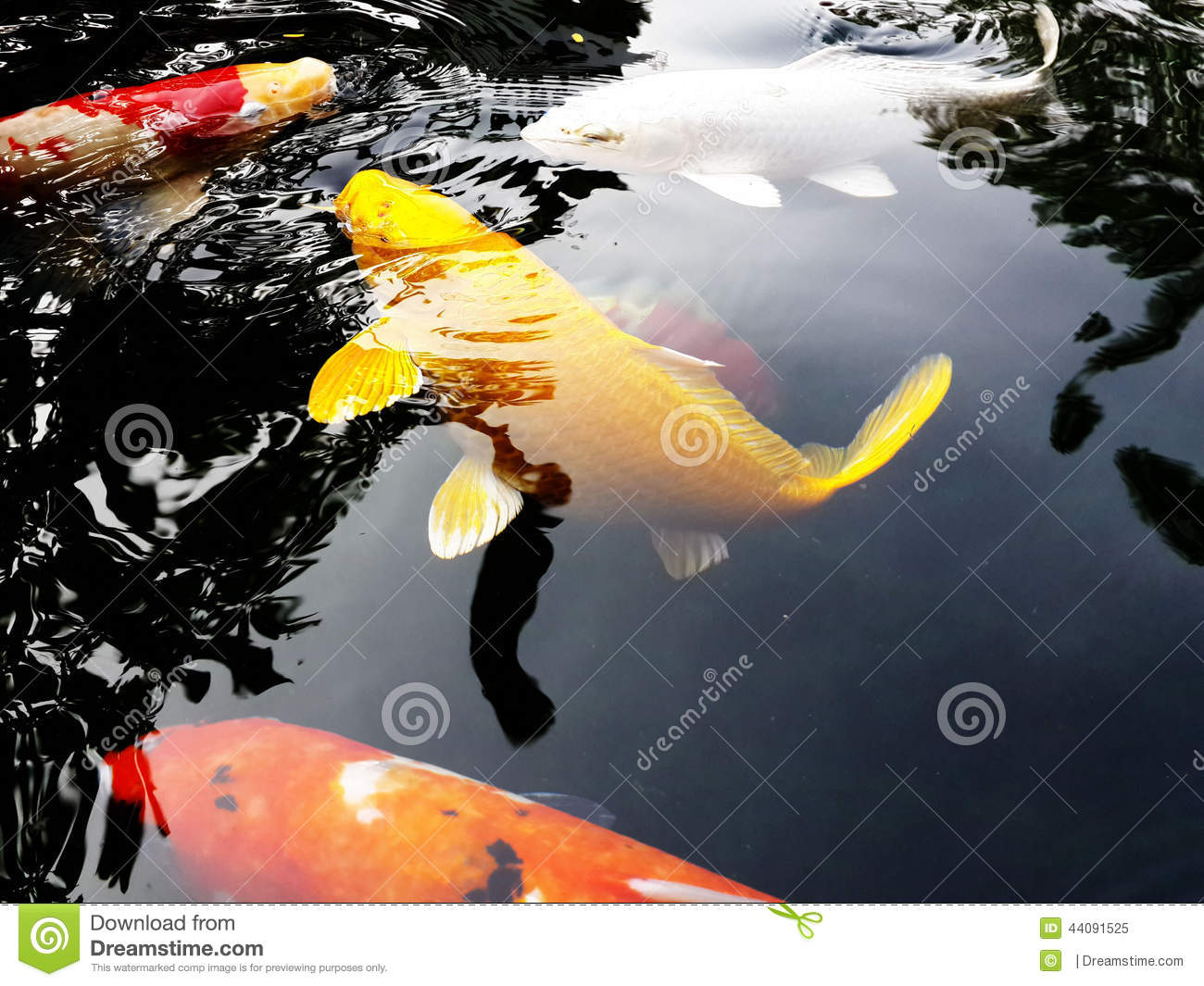 Yellow koi fish stock photo image 44091525 for Dream of fish swimming