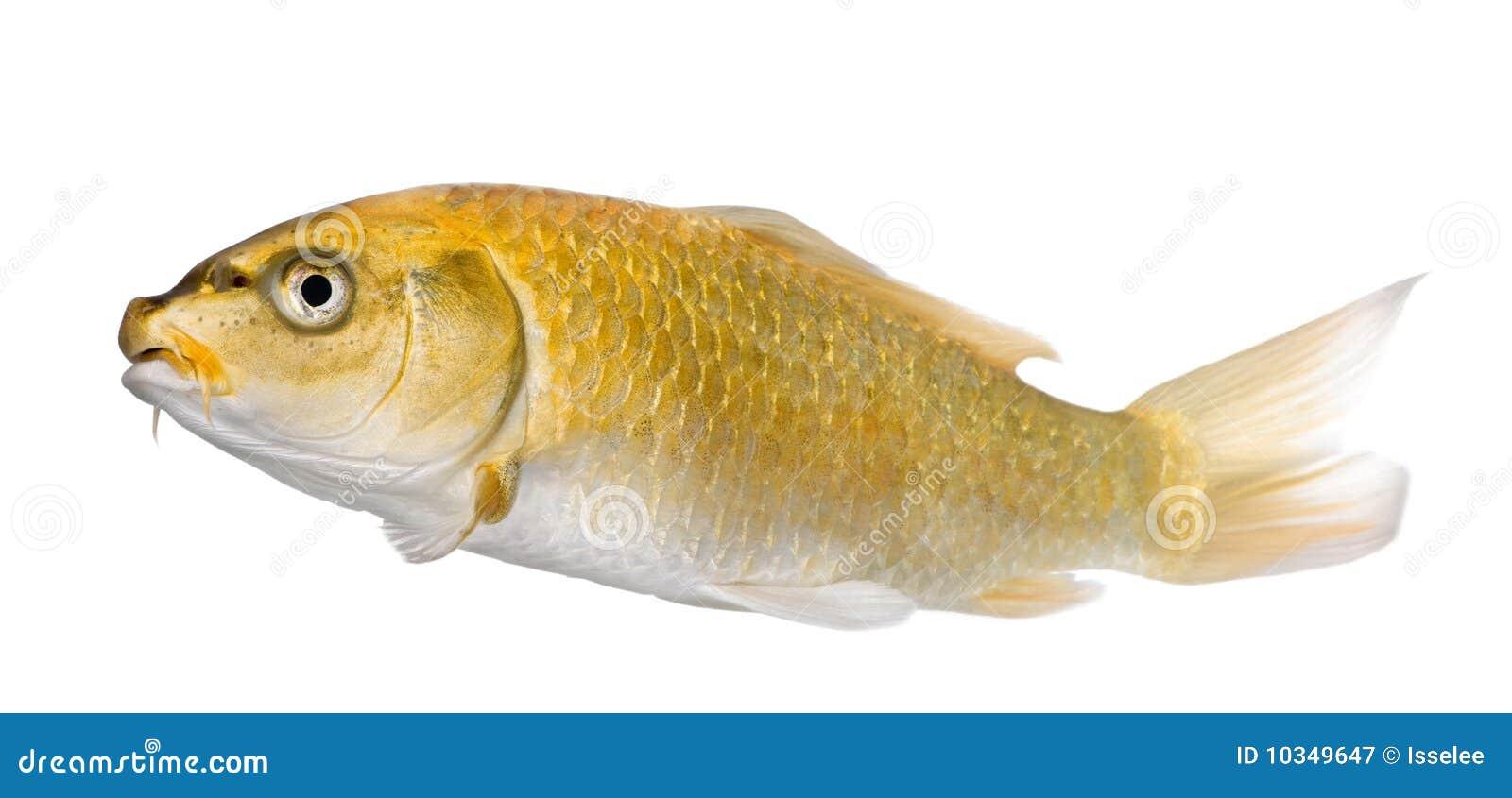 Yellow koi ogon cyprinus carpio royalty free stock for Yellow koi fish