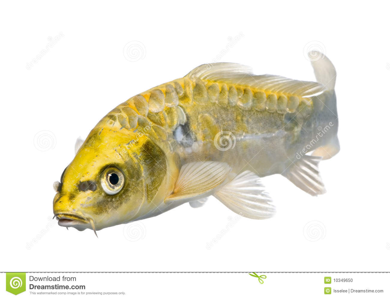 Yellow koi ogon cyprinus carpio stock photo image 10349650 for Ogon koi fish