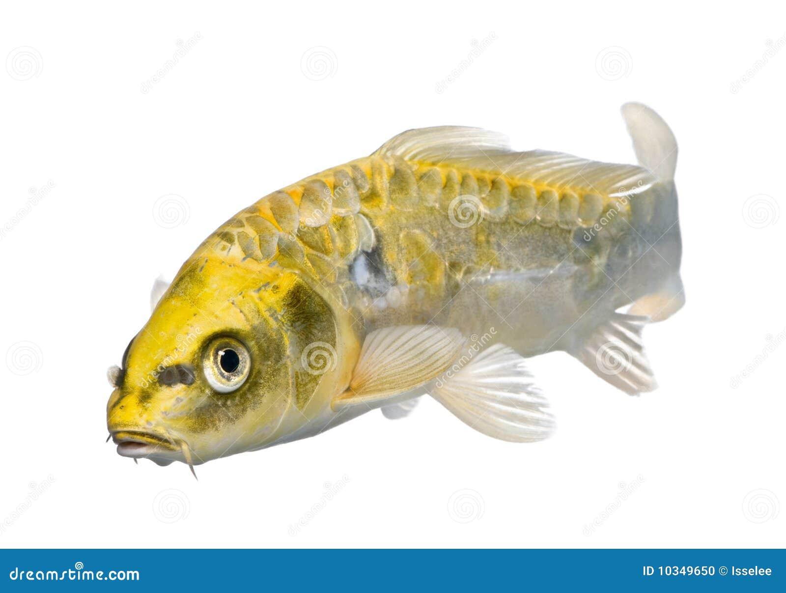 Yellow koi ogon cyprinus carpio stock photo image 10349650 for Yellow koi fish