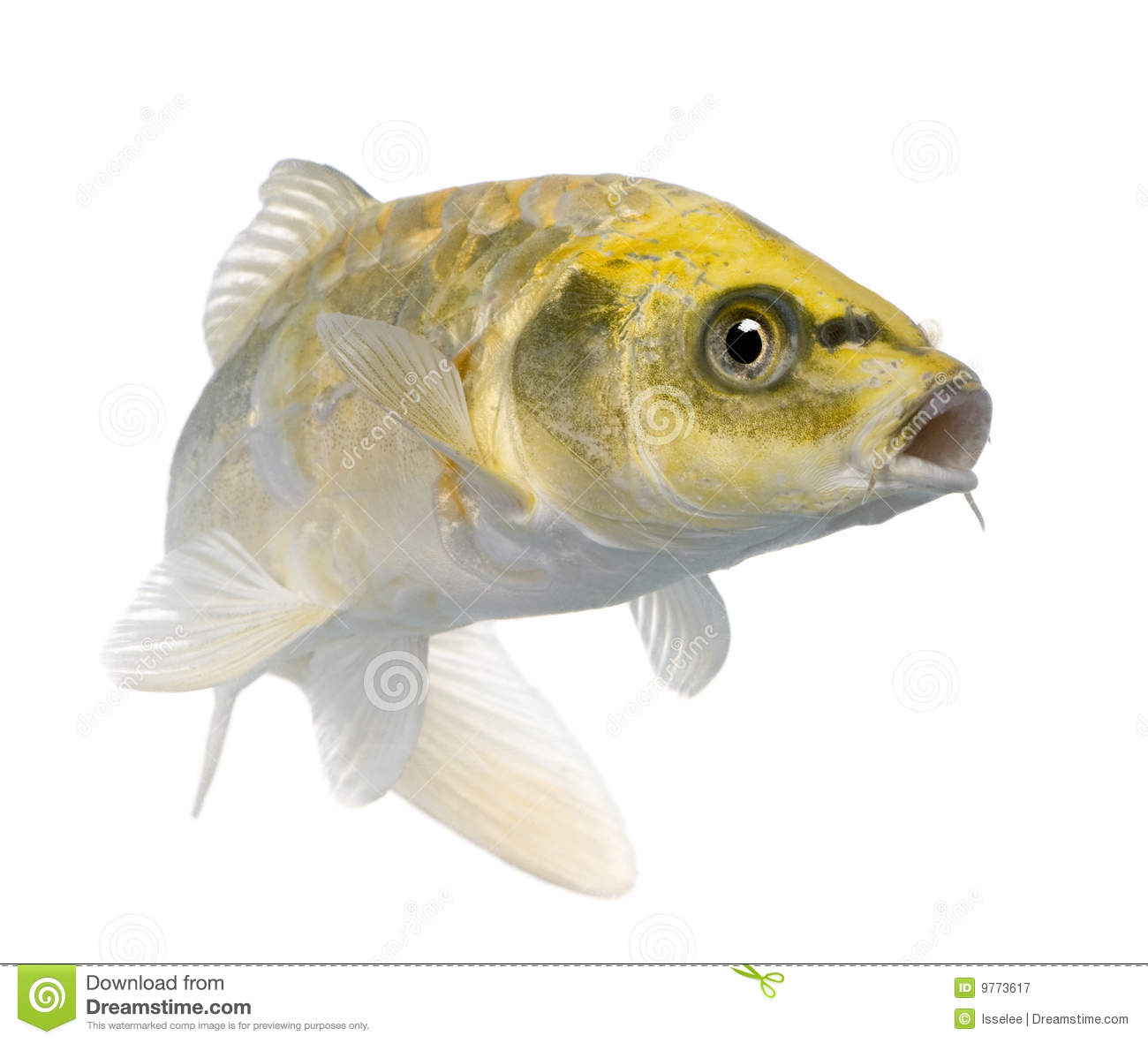 Yellow koi ogon cyprinus carpio royalty free stock for Ogon koi fish
