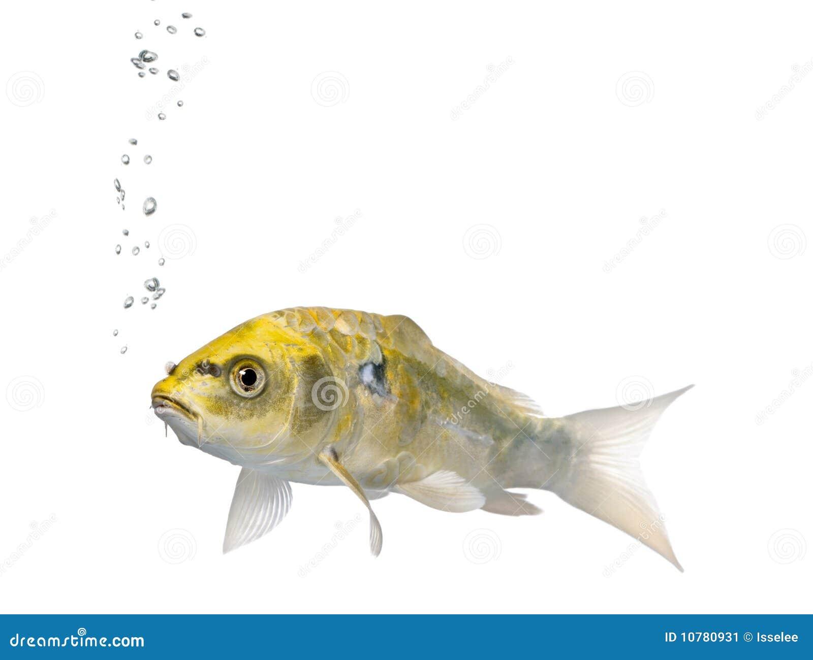 Yellow koi ogon fish cyprinus carpio studio shot stock for Yellow koi fish