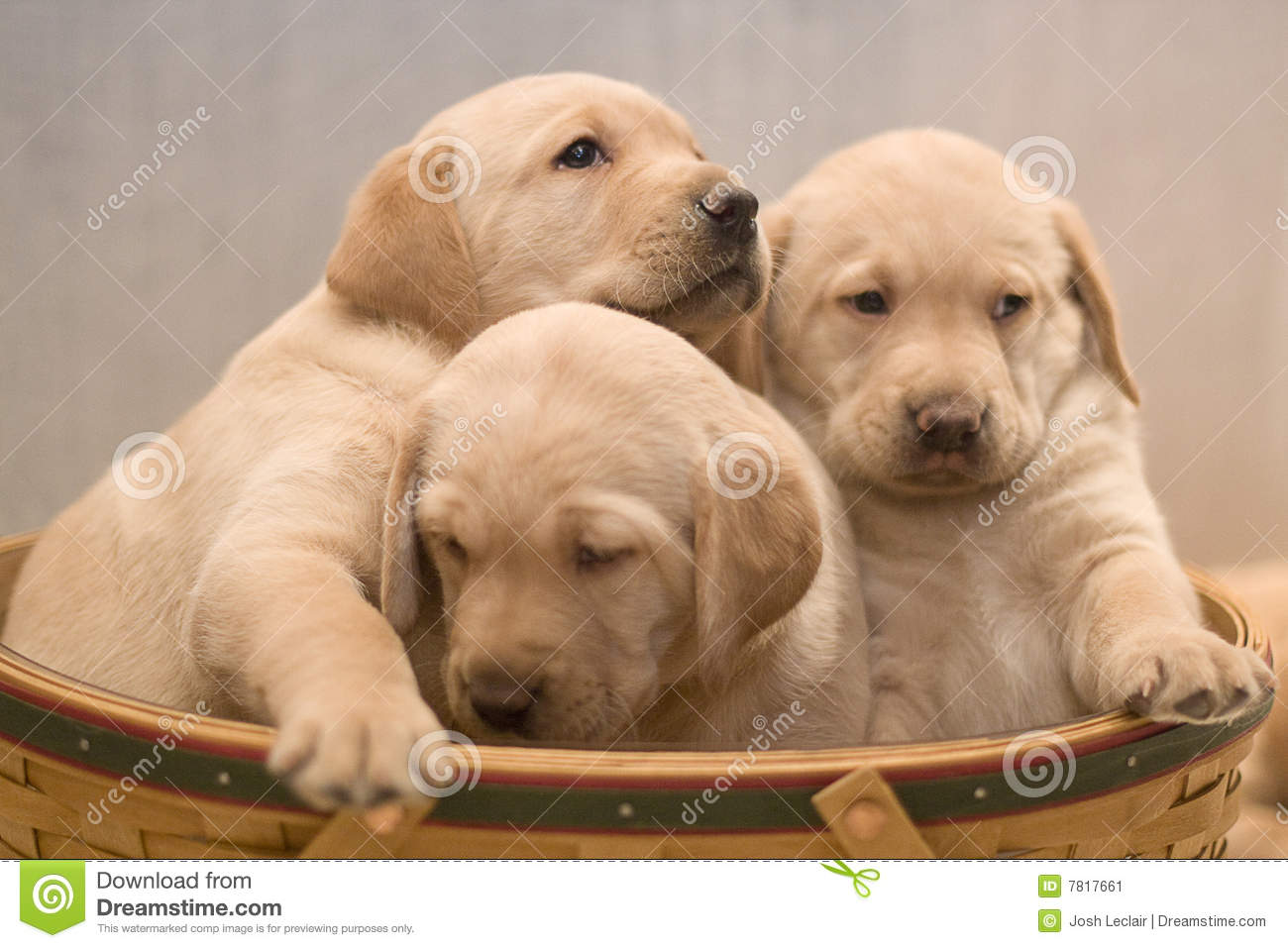 Yellow Lab Puppies Stock Image Image Of Adorable Cute 7817661