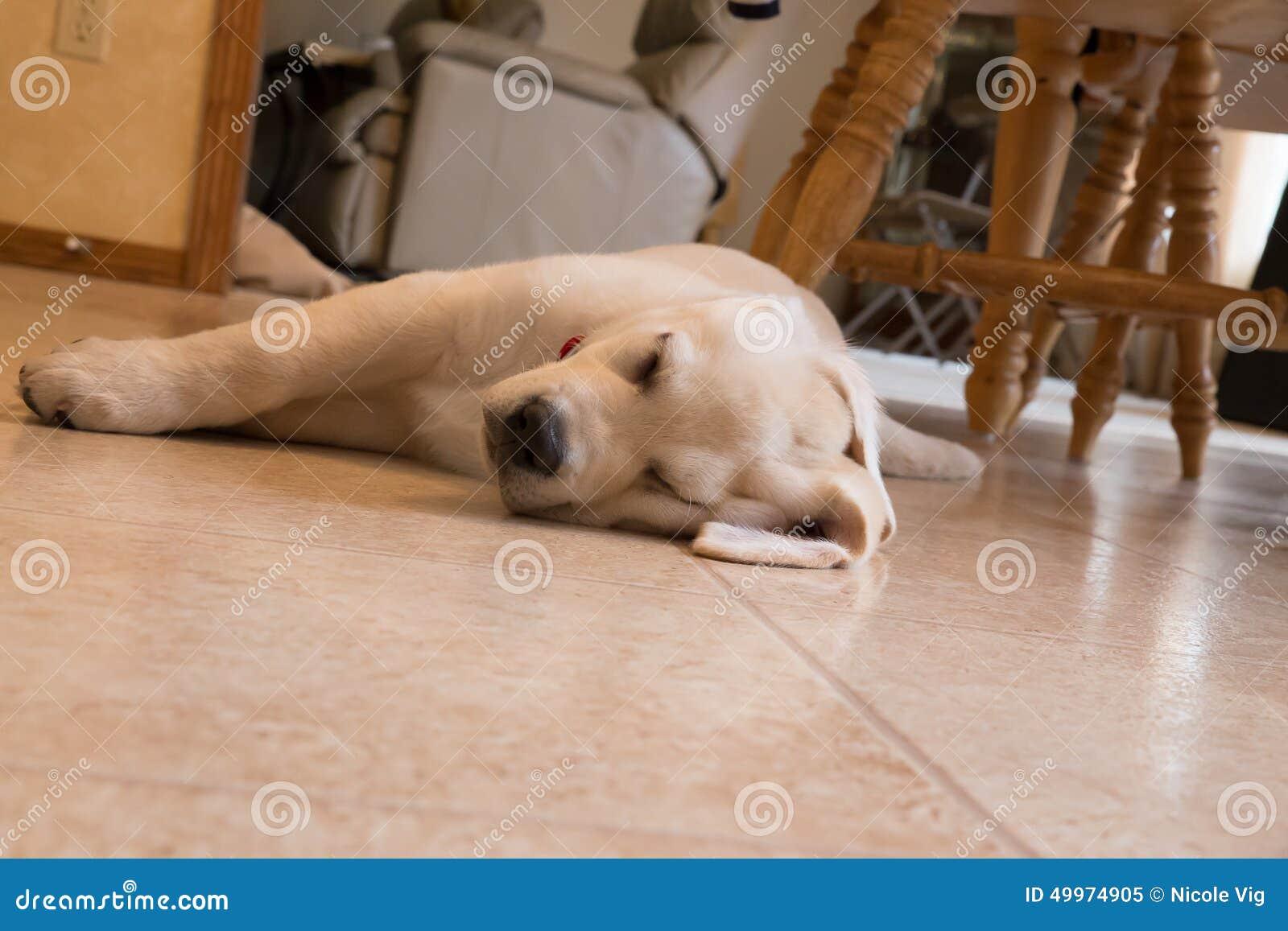 yellow lab puppy sleeping - photo #26