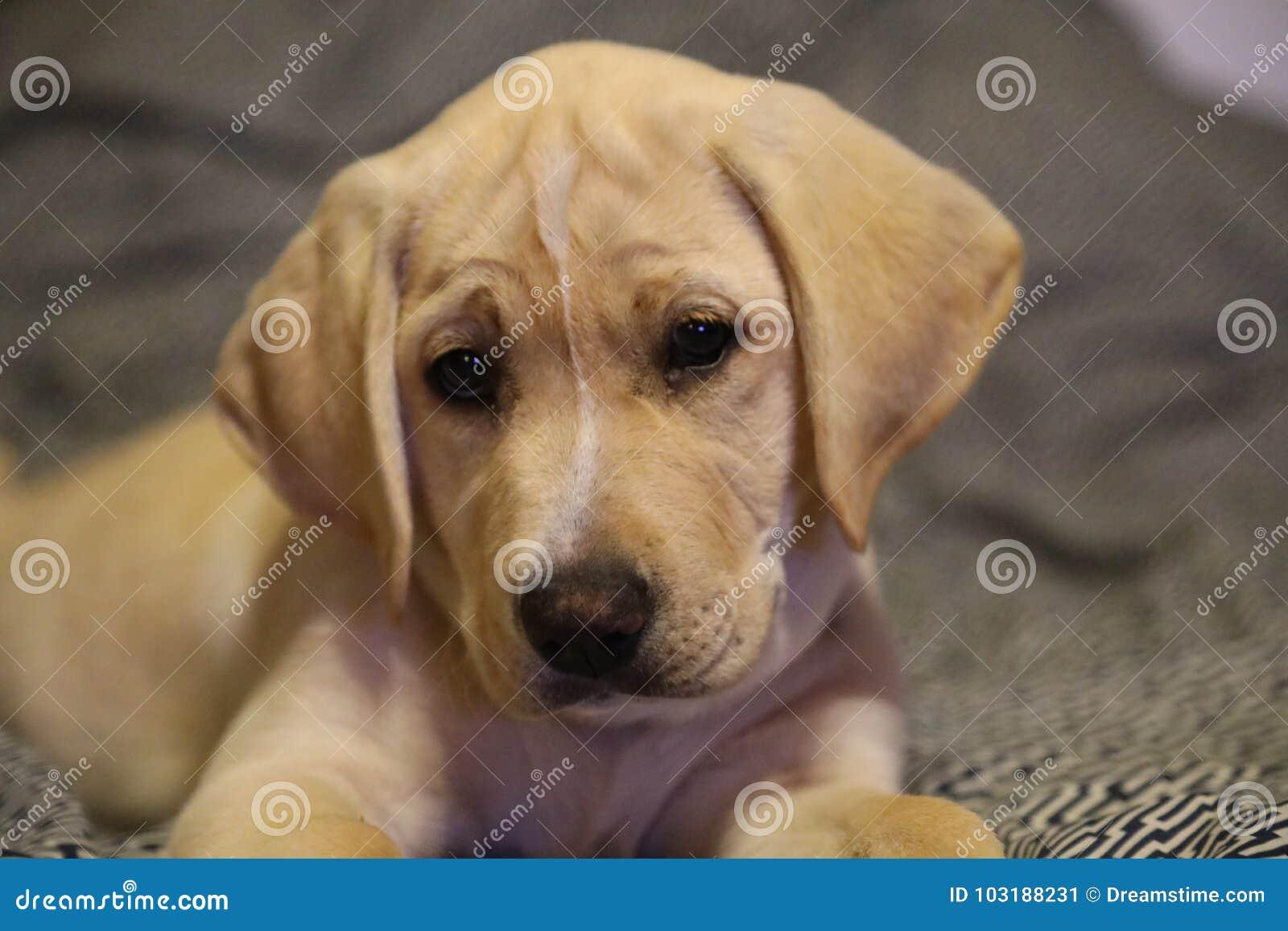 Yellow Lab Puppy Stock Image Image Of Labrador Smiling 103188231