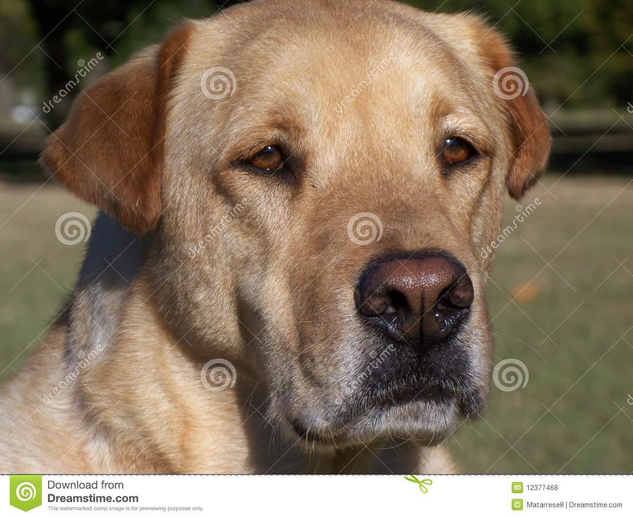 Yellow Lab with red ears stock photo. Image of retreiver ...