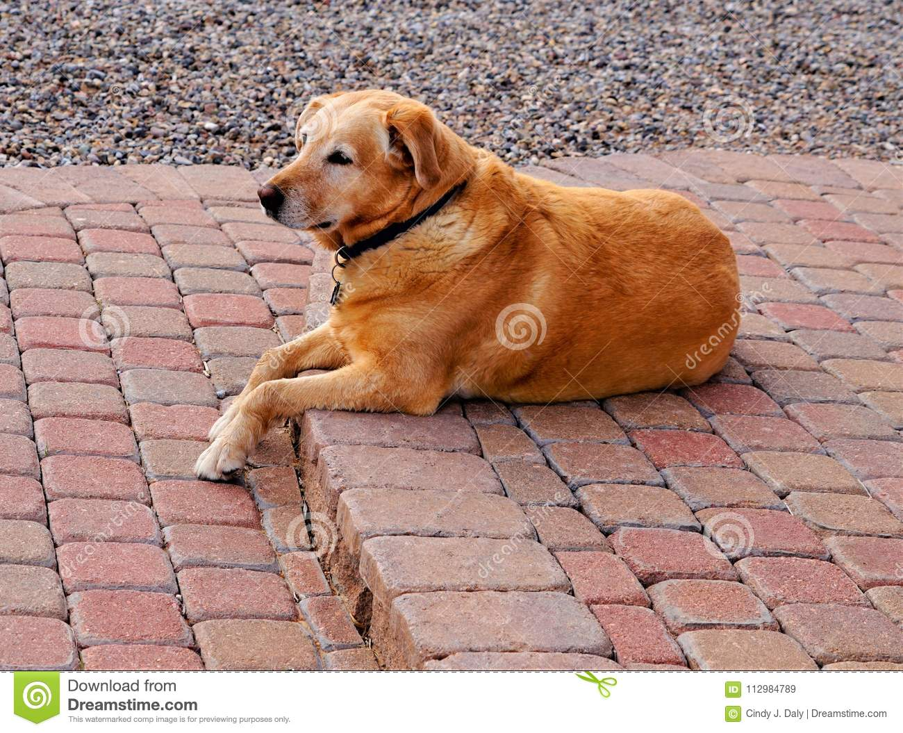A yellow labrador laying on the patio