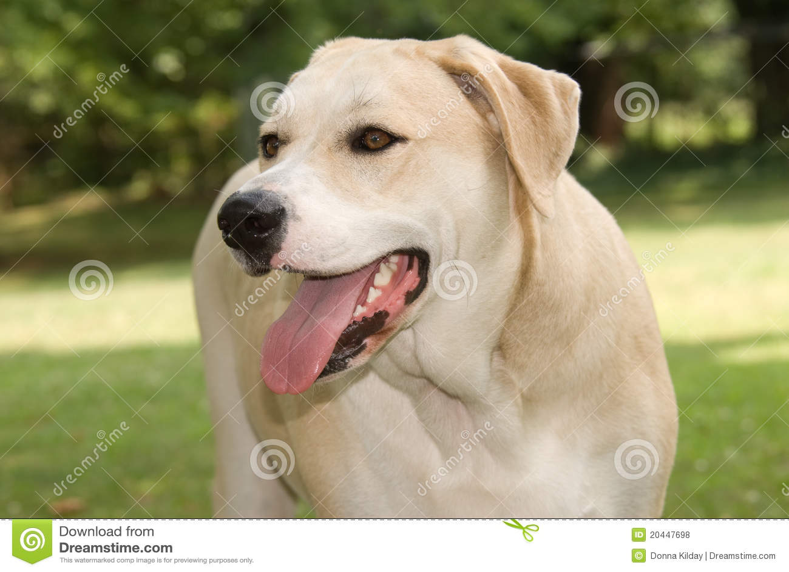 Yellow Labrador Mix Dog Royalty Free Stock Photos - Image ...