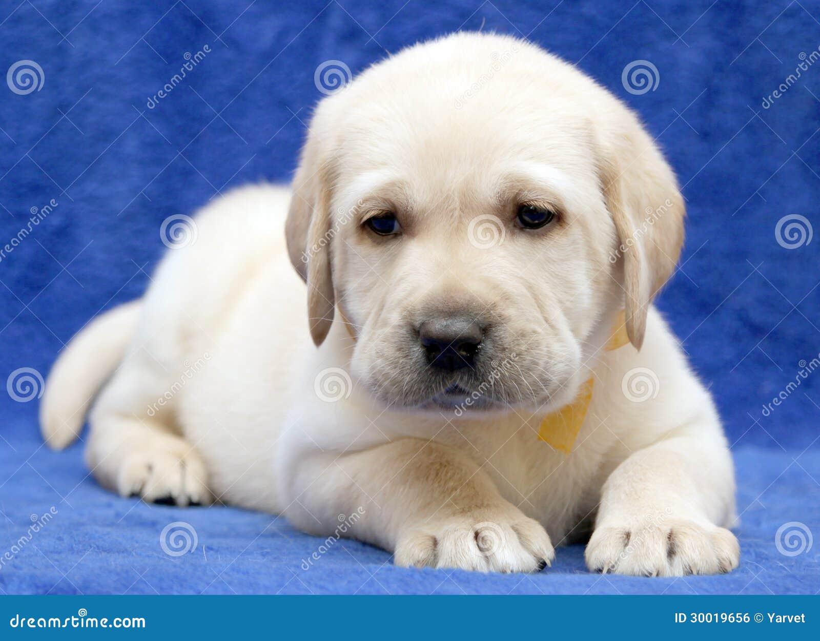 yellow lab puppy sleeping - photo #14