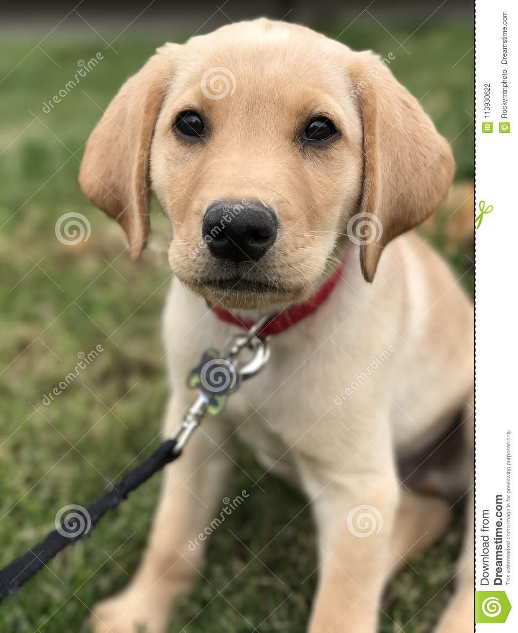 Yellow Labrador Puppy Sitting In The Grass Stock Photo Image Of Grass Leash 113930622