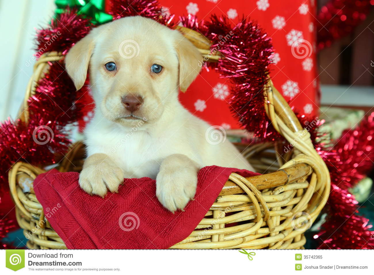 Yellow Labrador Retriever In Basket With Christmas Decorations Stock Image Image Of Young Hunting 35742365