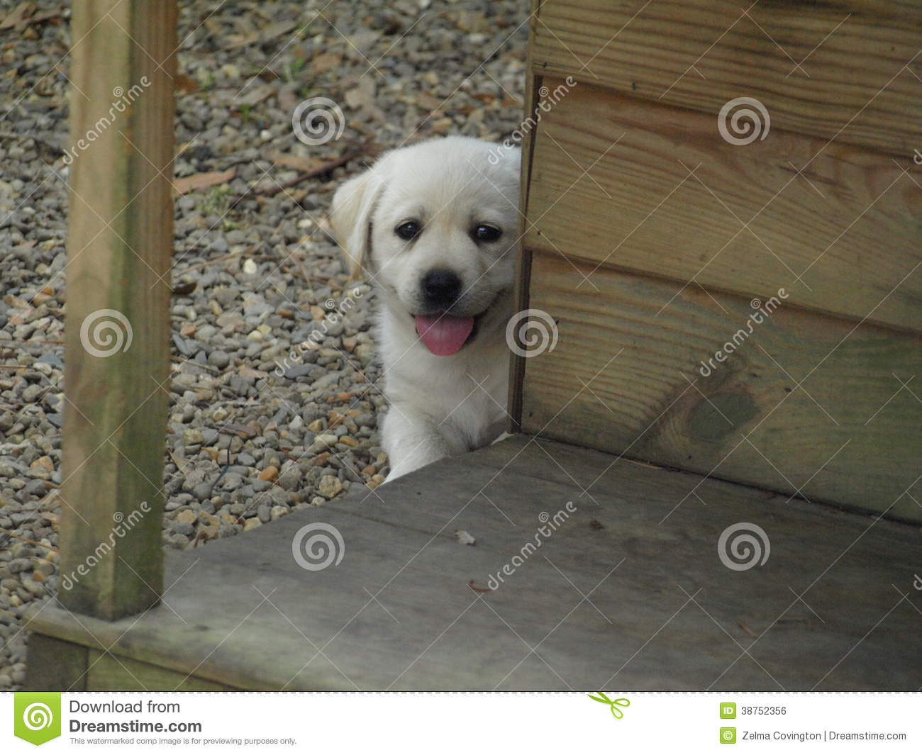 Yellow labrador retriever puppy royalty free stock image for Dog house for labrador retriever
