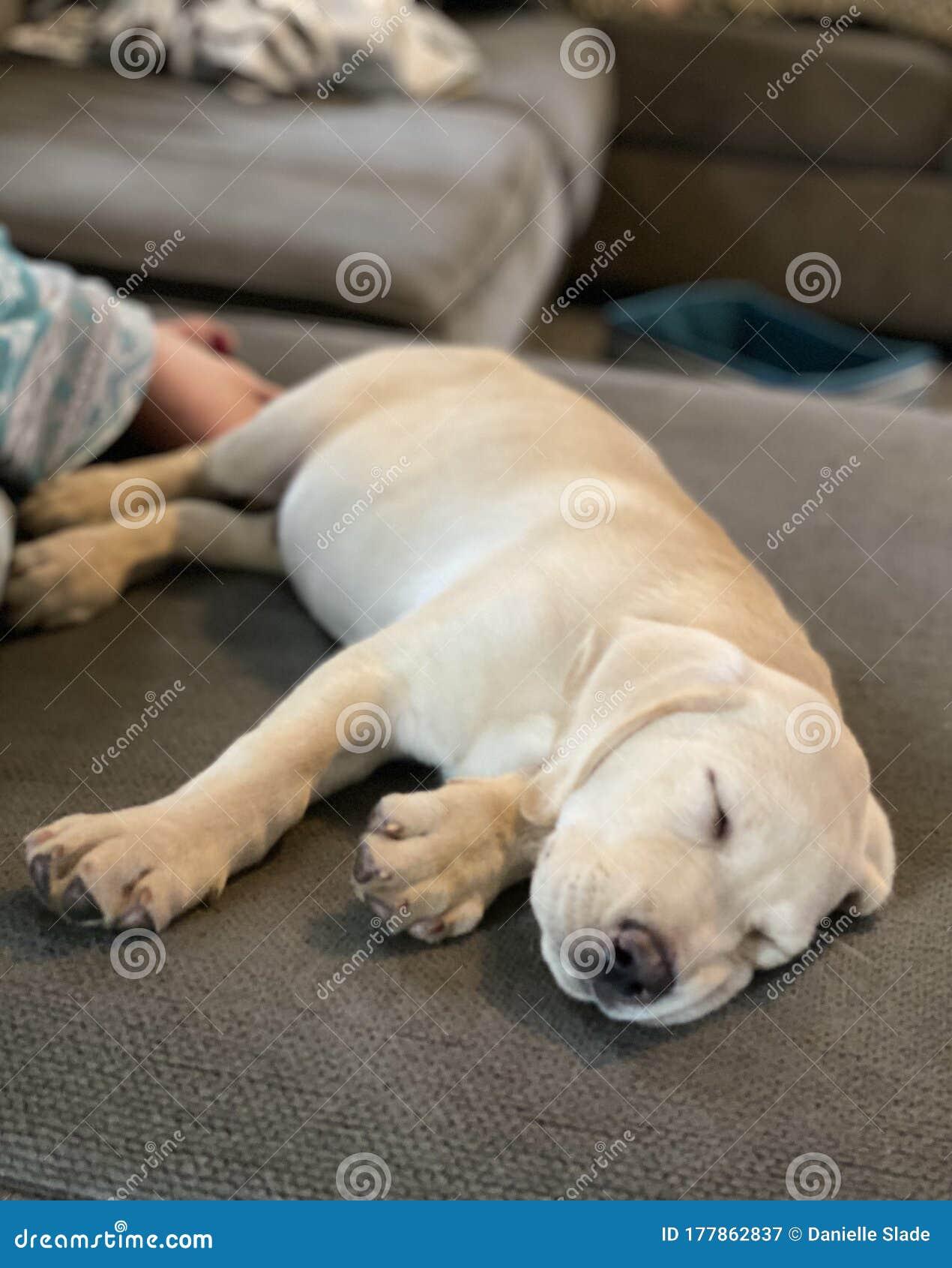 Yellow Labrador Retriever Puppy Stock Image Image Of Labrador Puppy 177862837