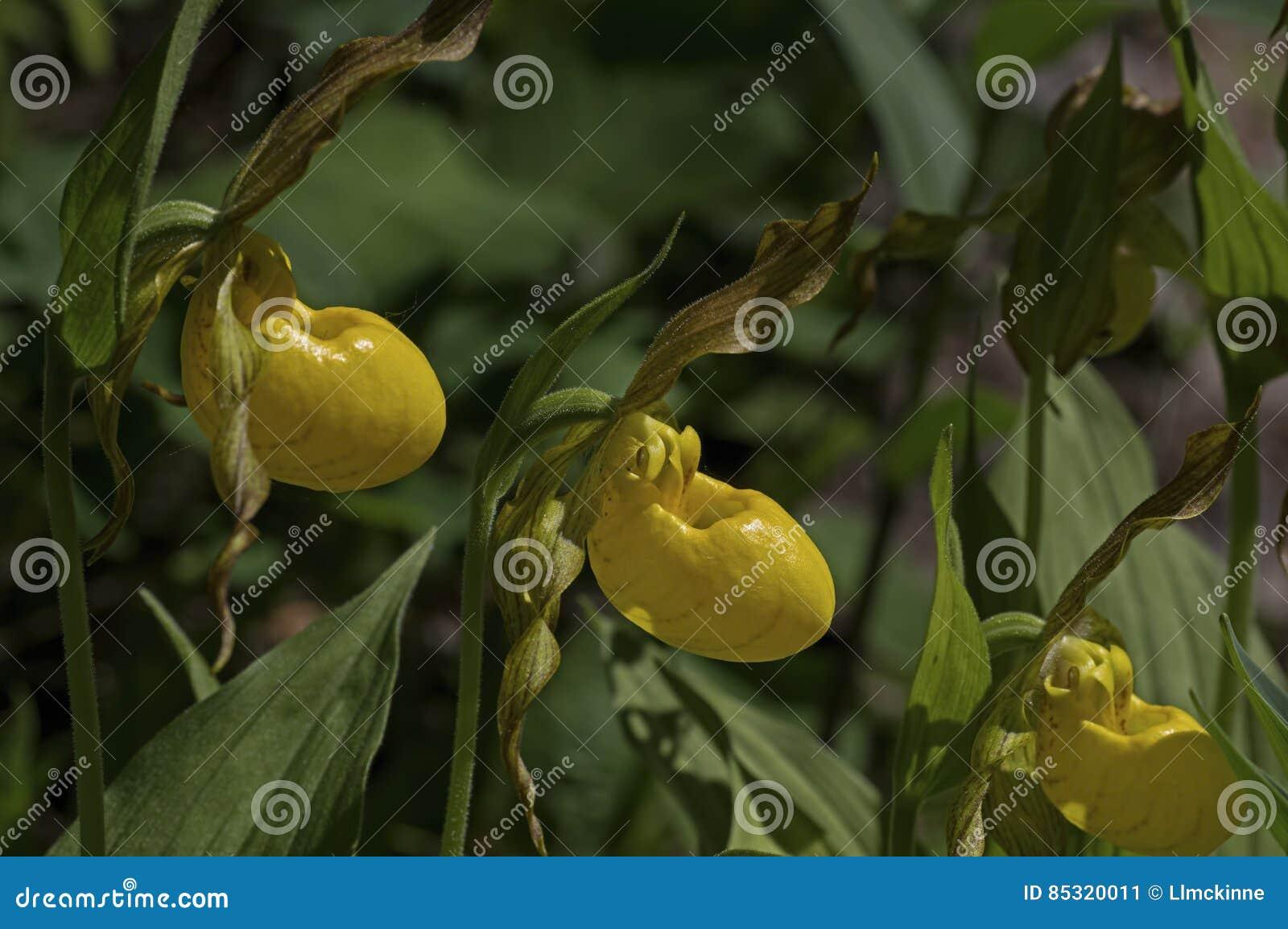 Yellow Lady Slipper Stock Image Image Of Landscape Mosses 85320011