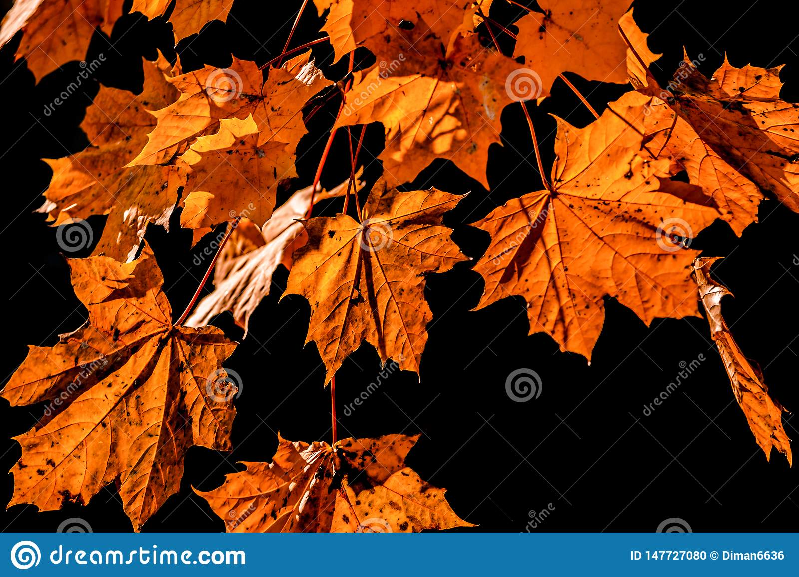 Yellow leaves on black background. Falling leaf