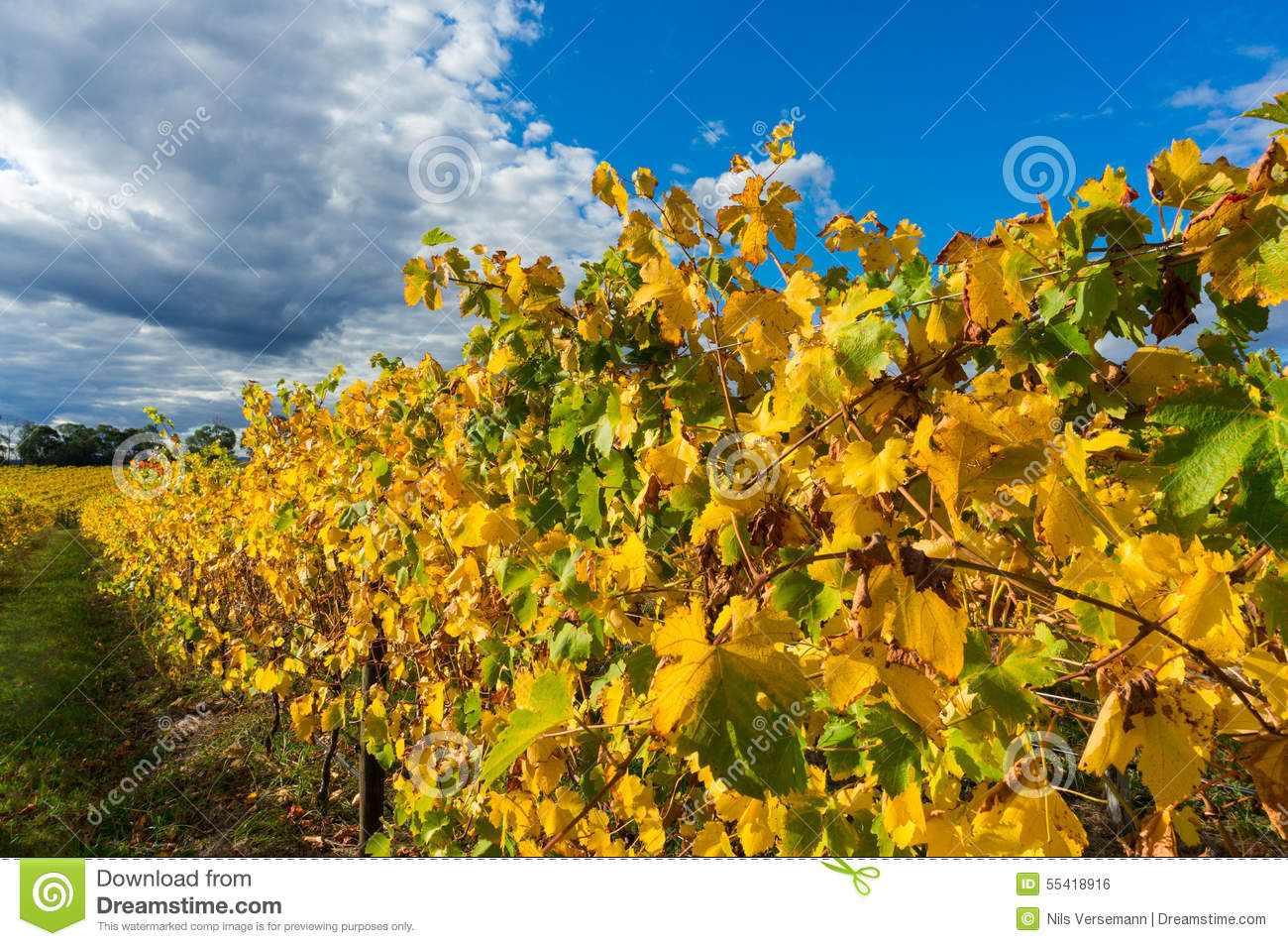 Yellow Leaves On A Grape Vine In The Yarra Valley Australia Stock