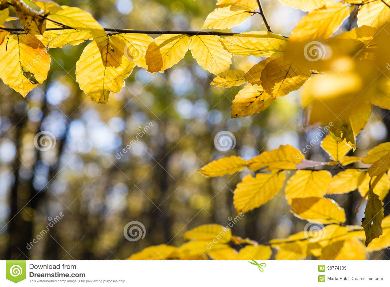 Yellow leaves in sunlight in autumn forest