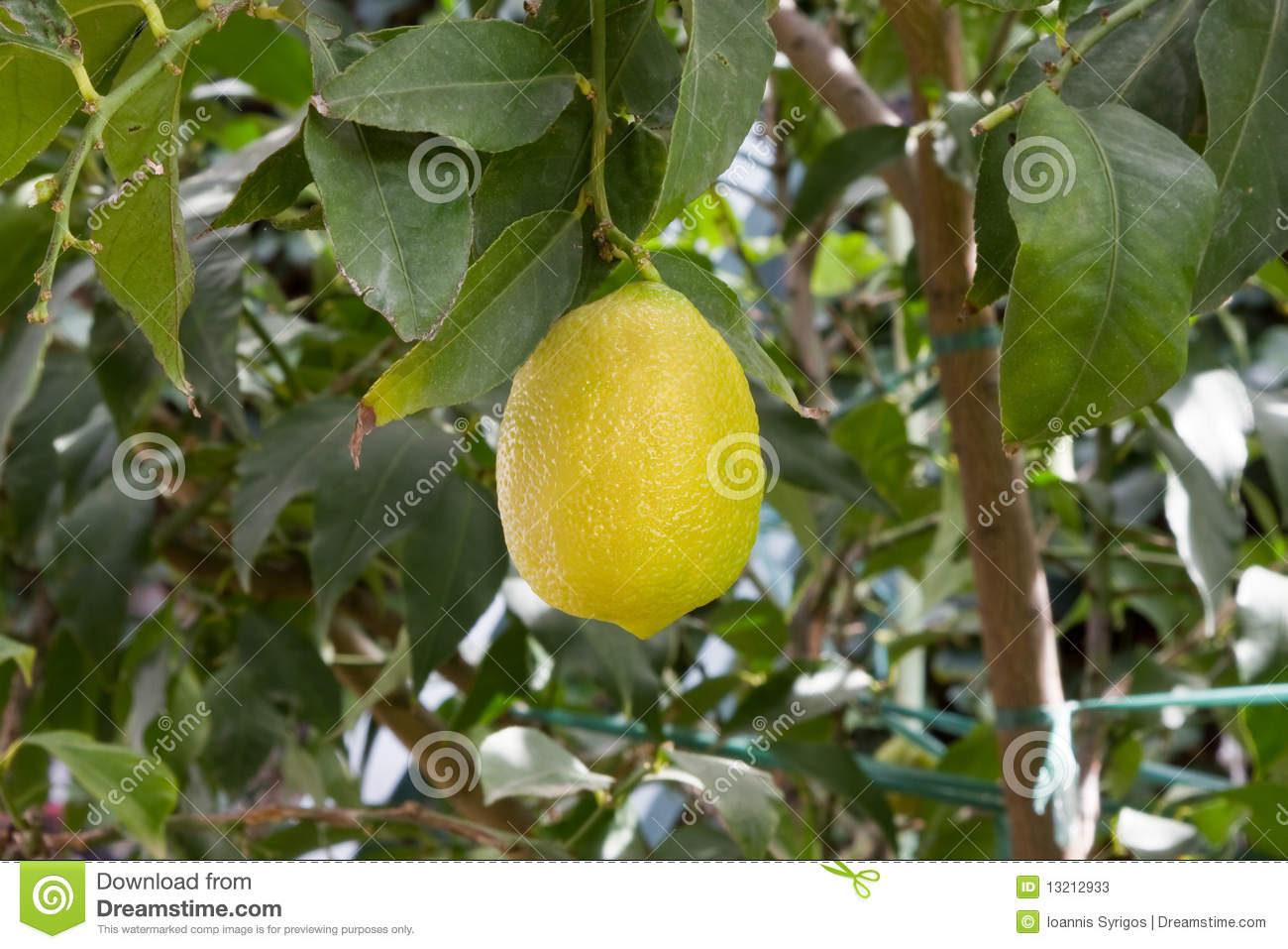 fools garden yellow lemon tree lyrics: