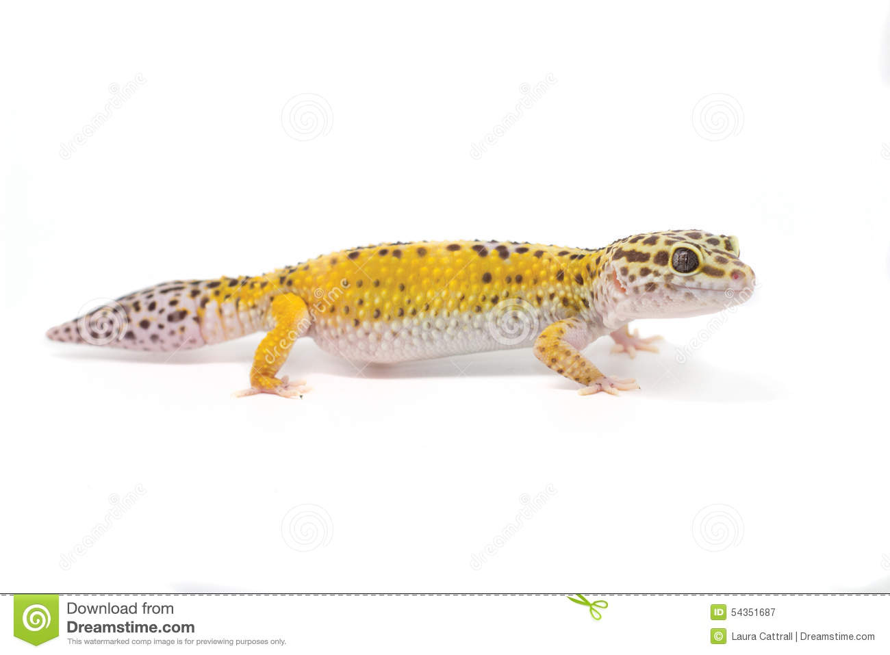Stock Photo Yellow Leopard Gecko White Background Black Image54351687 on Betta Fish Clip Art