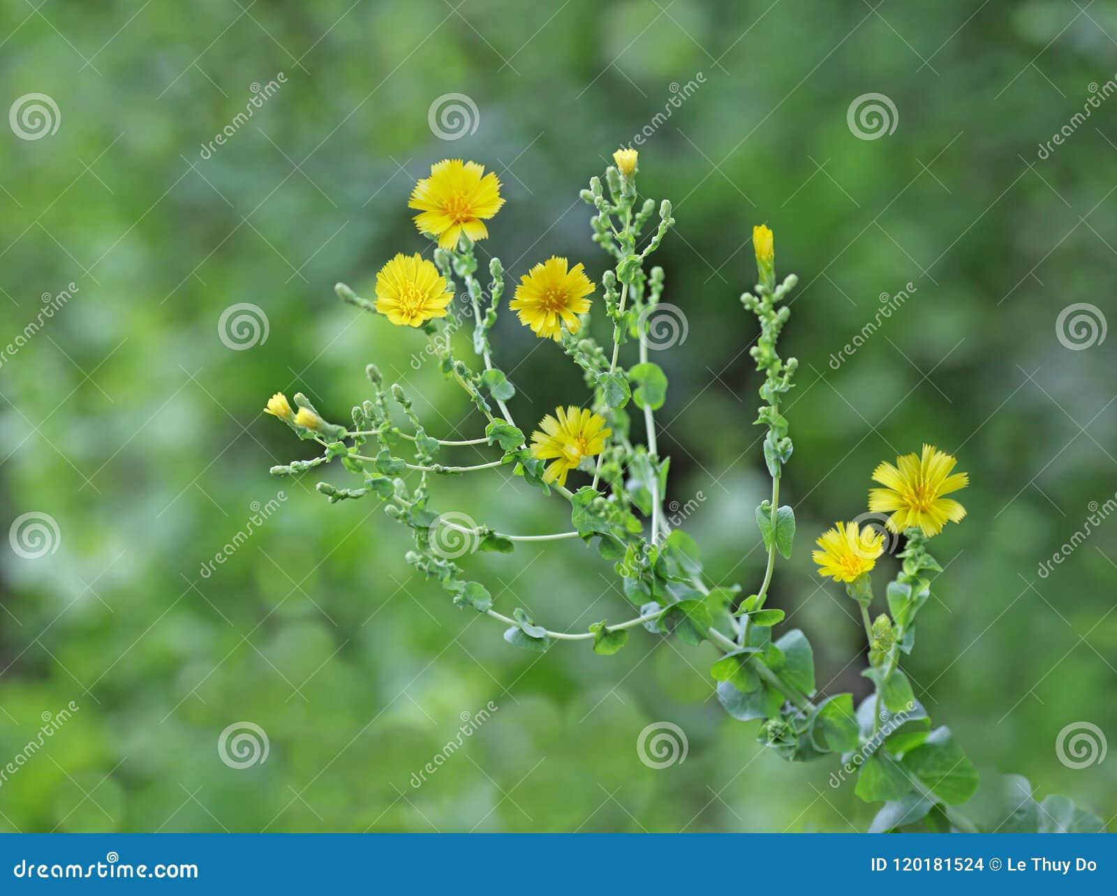 Lettuce Flower Plant
