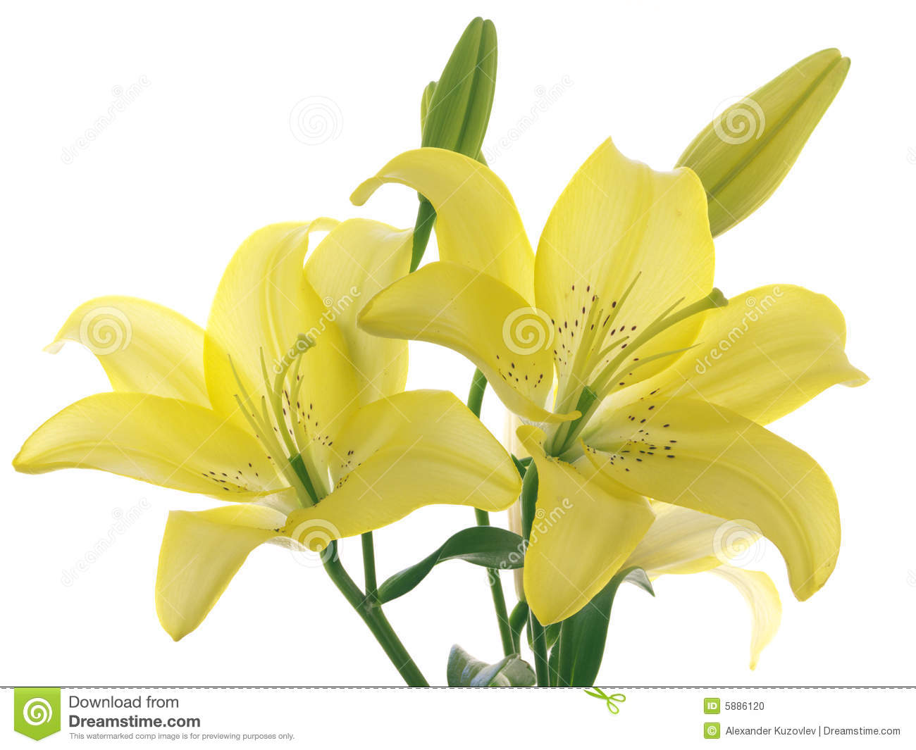 Yellow lilies on a branch