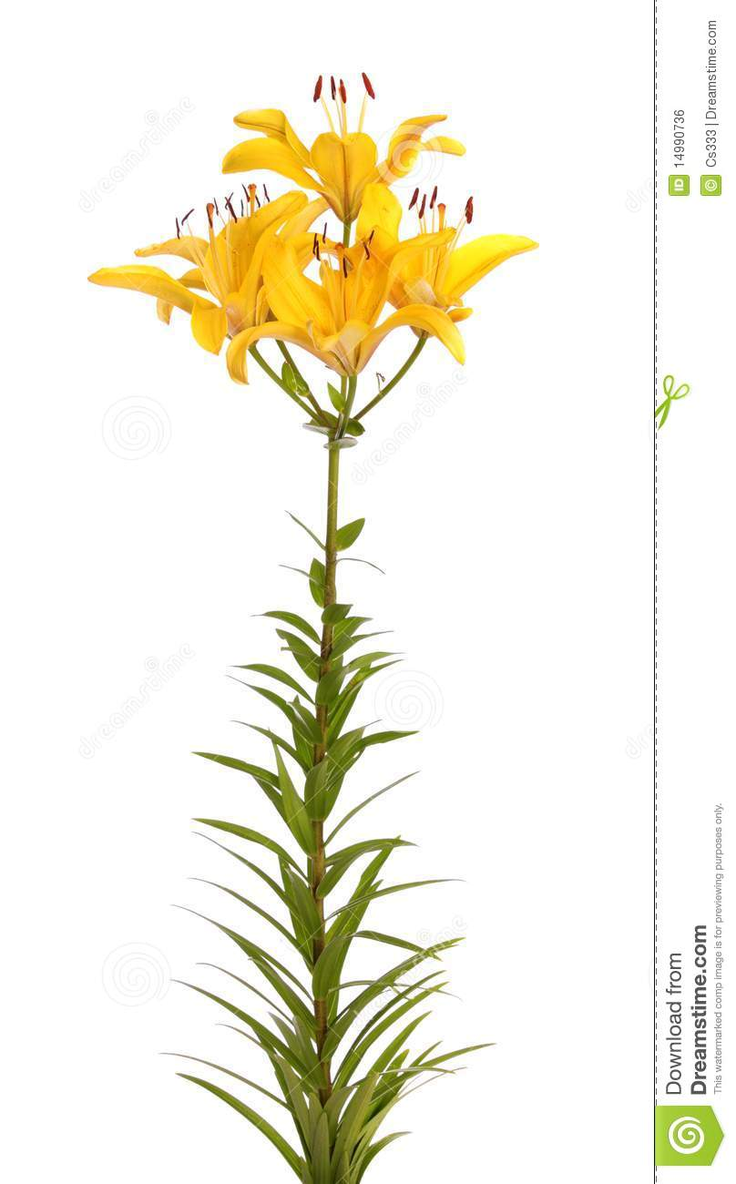 Yellow lilies, isolated.