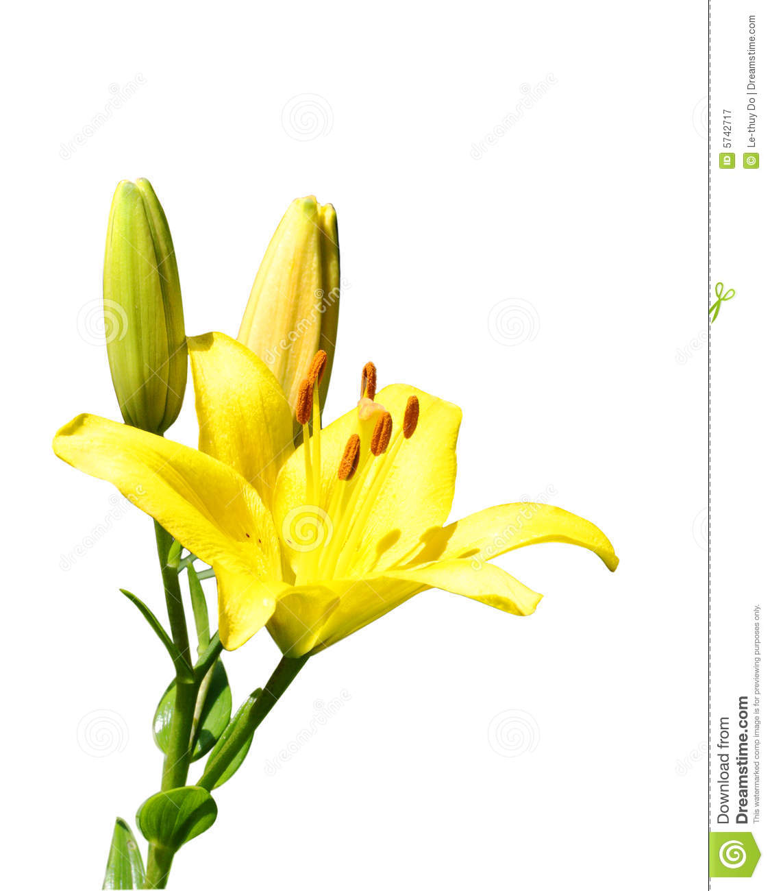 Yellow lily flower stock image image of flora fragrant 5742717 yellow lily flower izmirmasajfo