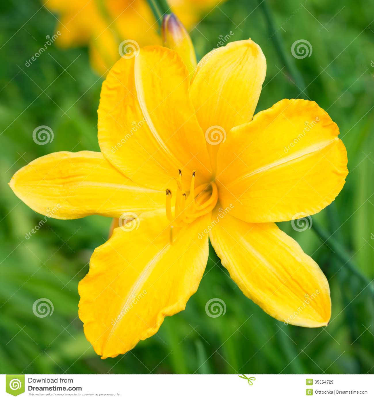 Yellow lily flower stock image image of background flower 35354729 yellow lily flower izmirmasajfo