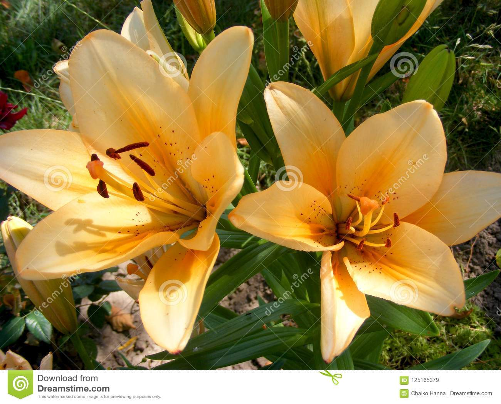 Yellow Lily Flower Natural Flower Background Flower Garden Stock