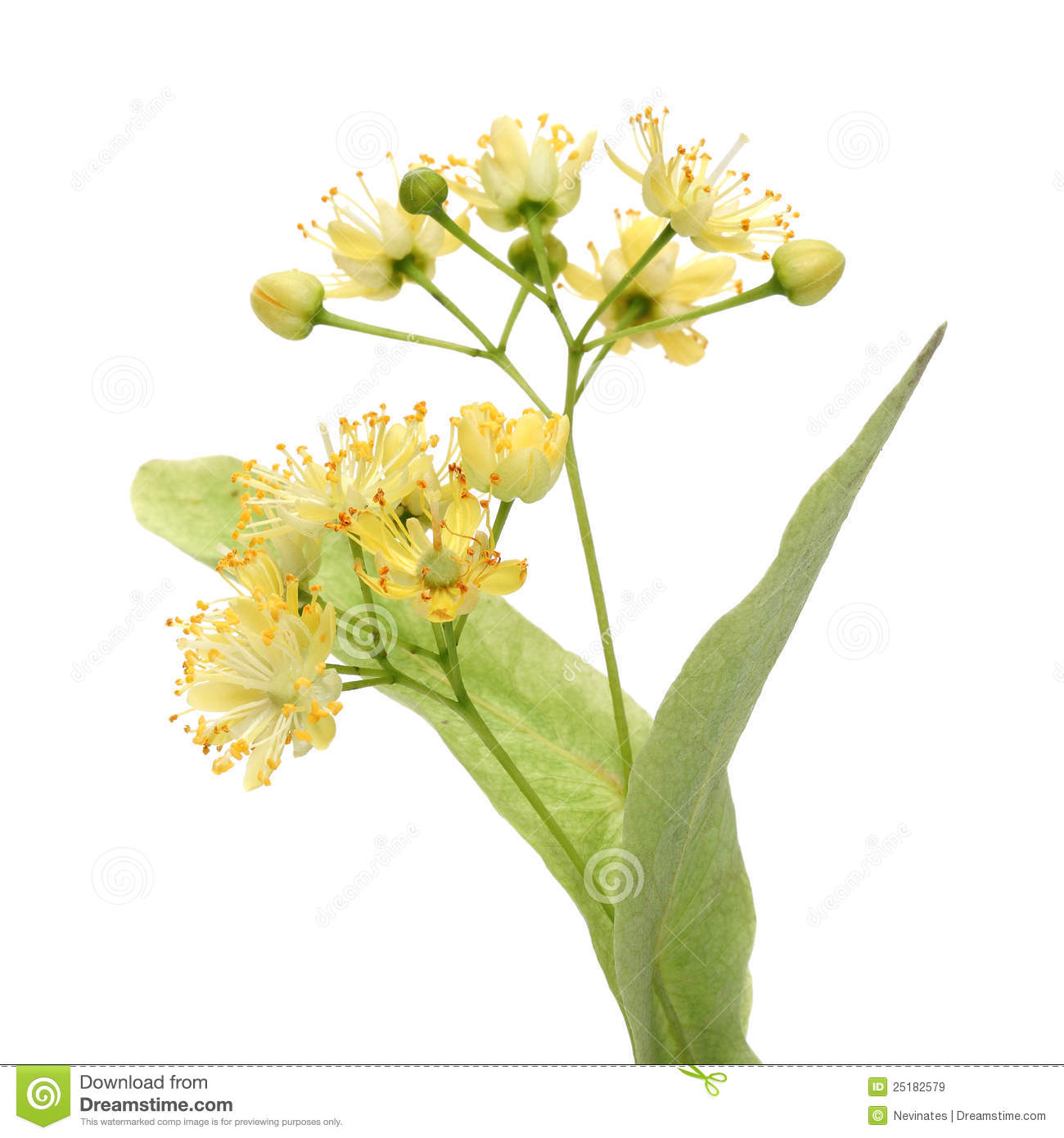 Yellow Linden Flower Royalty Free Stock Image