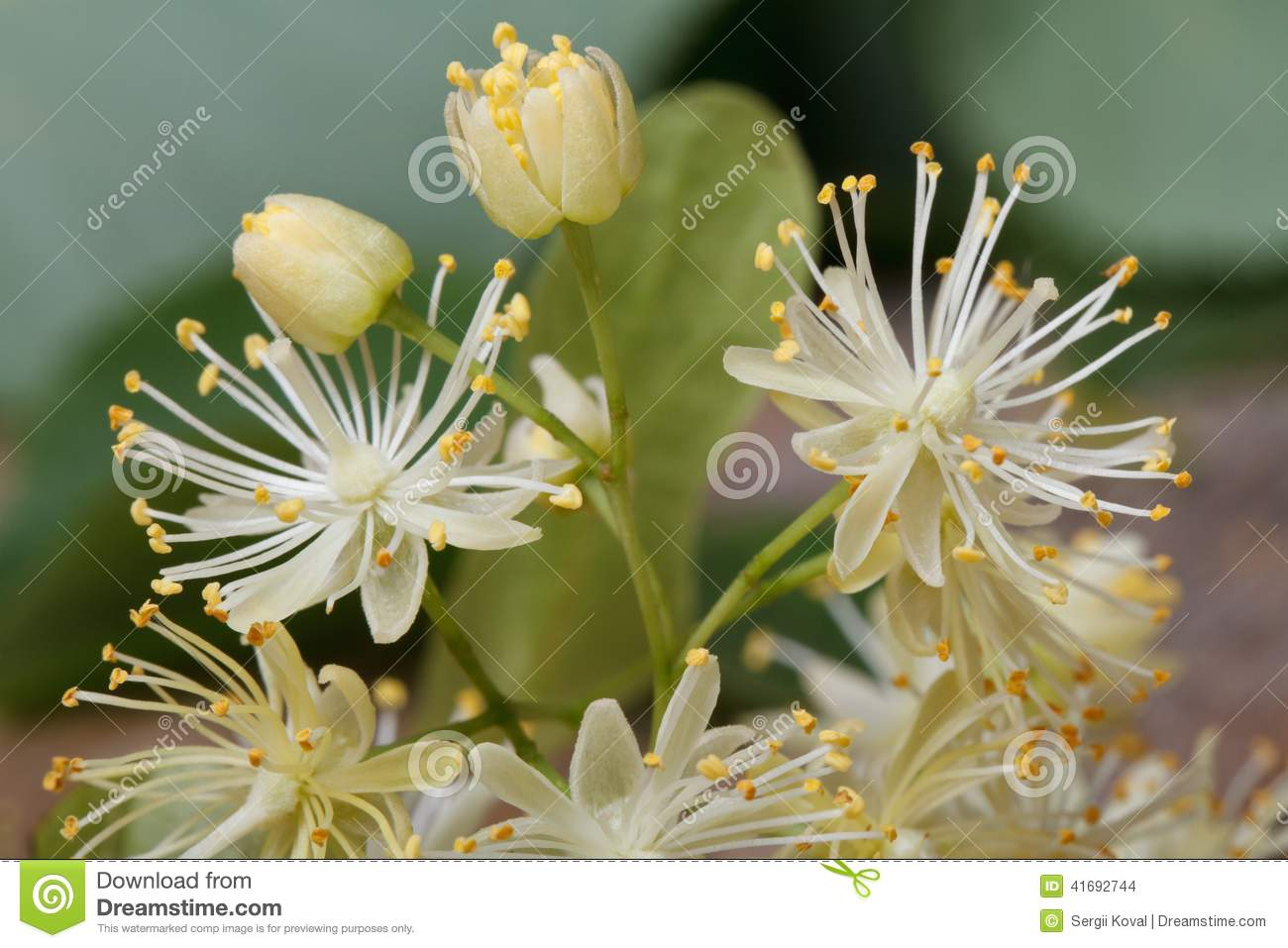 Yellow Linden Flowers With Buds Macro Stock Image