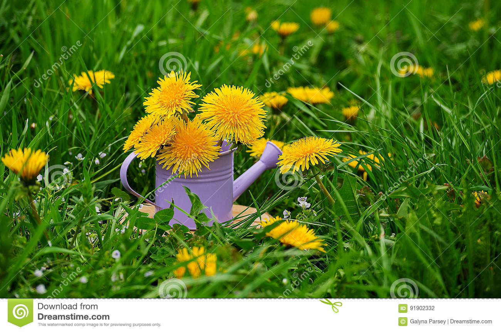 how to grow dandelions outdoors