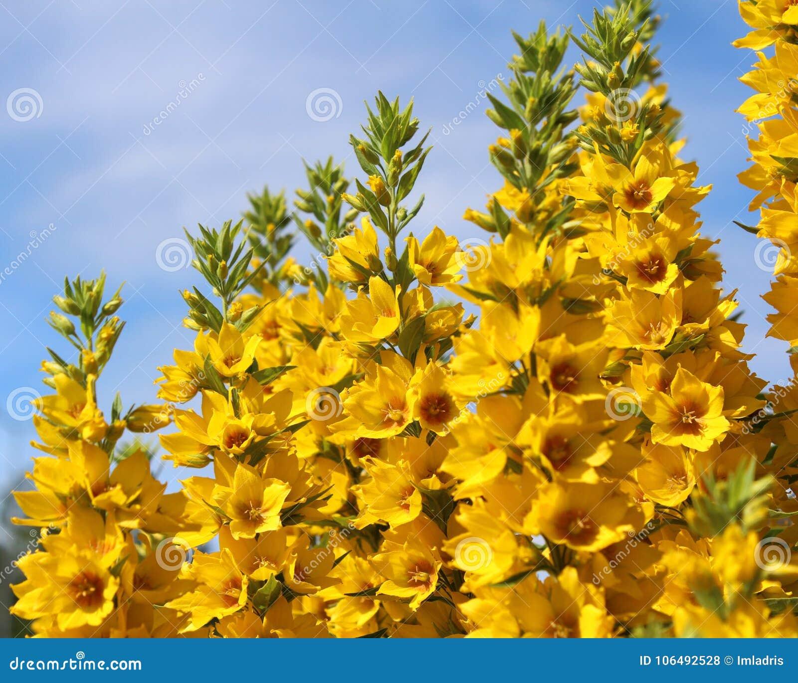 Yellow loosestrife flowers stock photo image of flowering 106492528 download yellow loosestrife flowers stock photo image of flowering 106492528 mightylinksfo