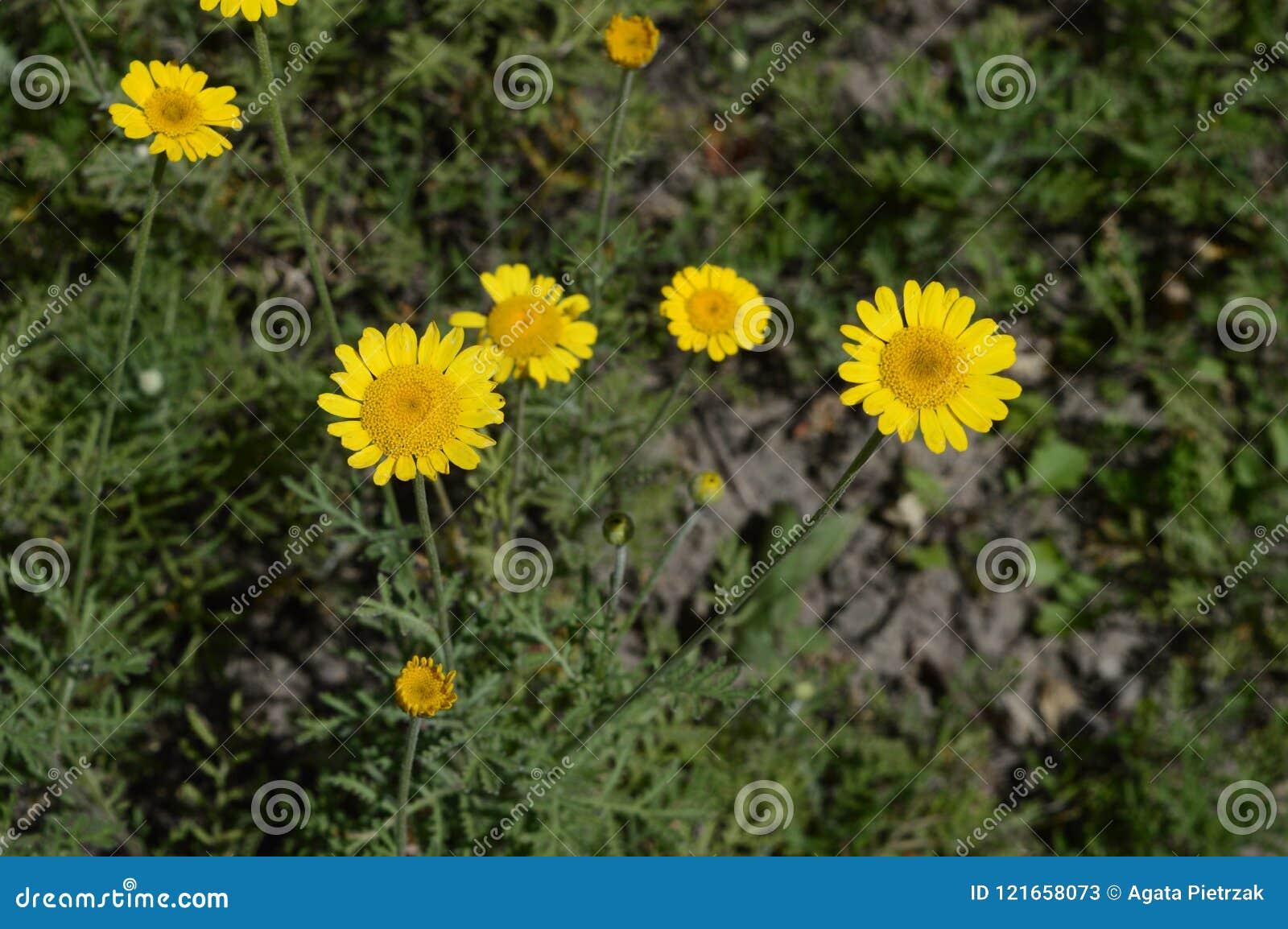 Yellow Loosestrife Like Yellow Daisy Stock Image Image Of Feathery