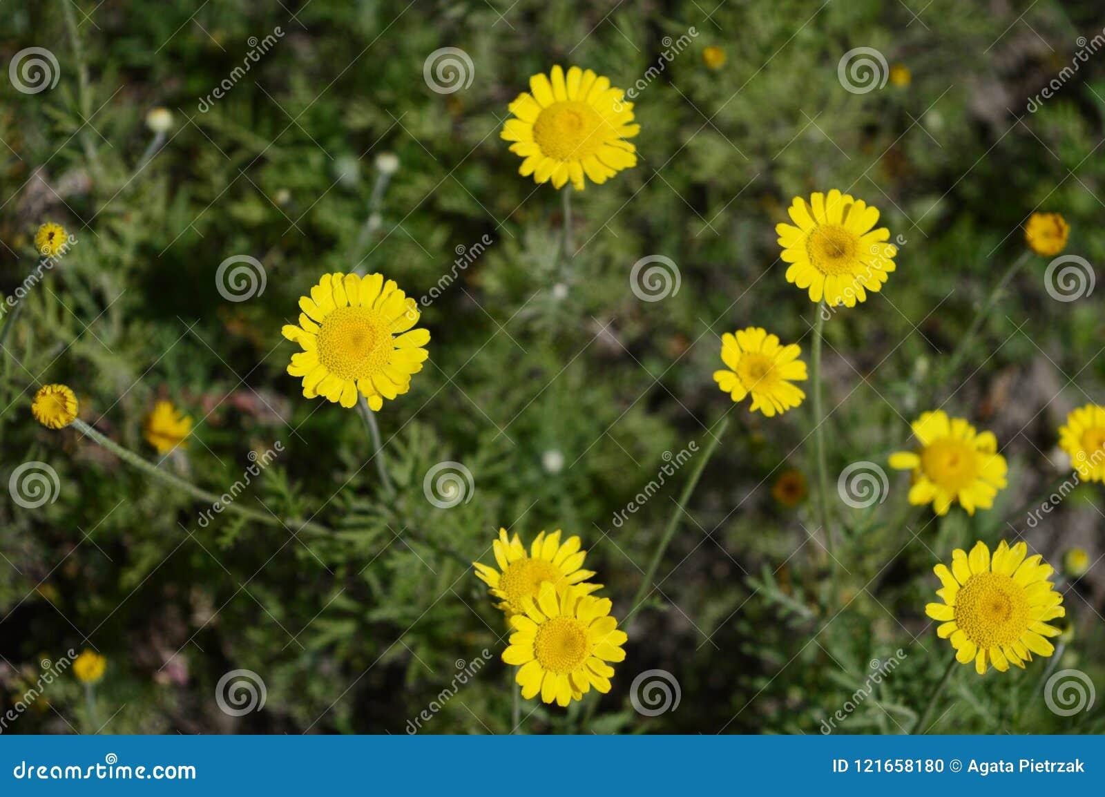 Yellow Loosestrife Like Yellow Daisy Stock Photo Image Of