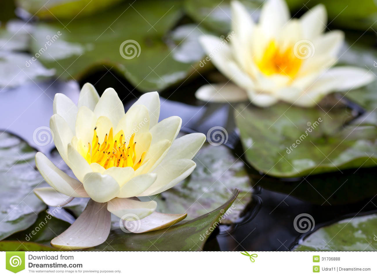 Yellow Lotus Blossom Or Water Lily Flower Stock Photo Image Of