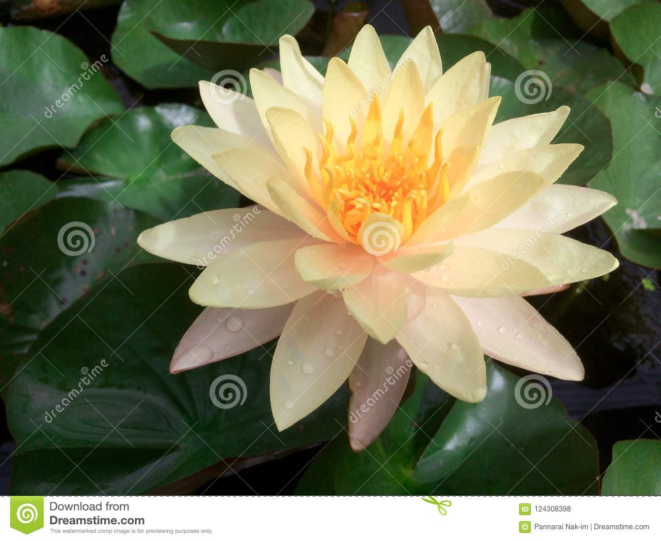 Yellow Lotus Flower Beautiful In Pond Stock Photo Image Of Leaves
