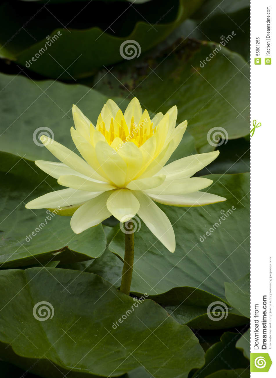 Yellow Lotus Flower Stock Image Image Of Waterlily Color 55881255