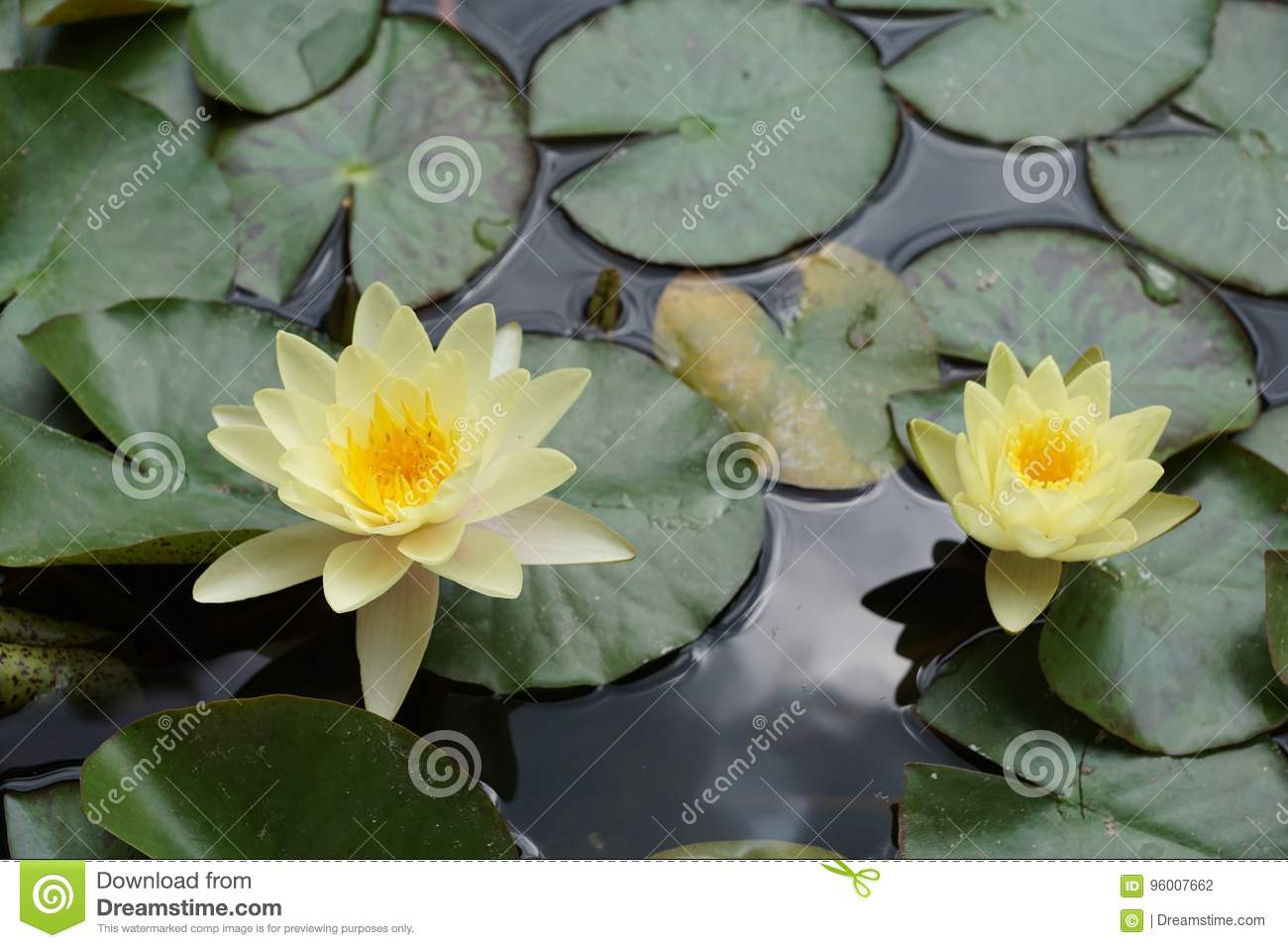 Yellow Lotus Stock Photo Image Of France Cells Cactus 96007662