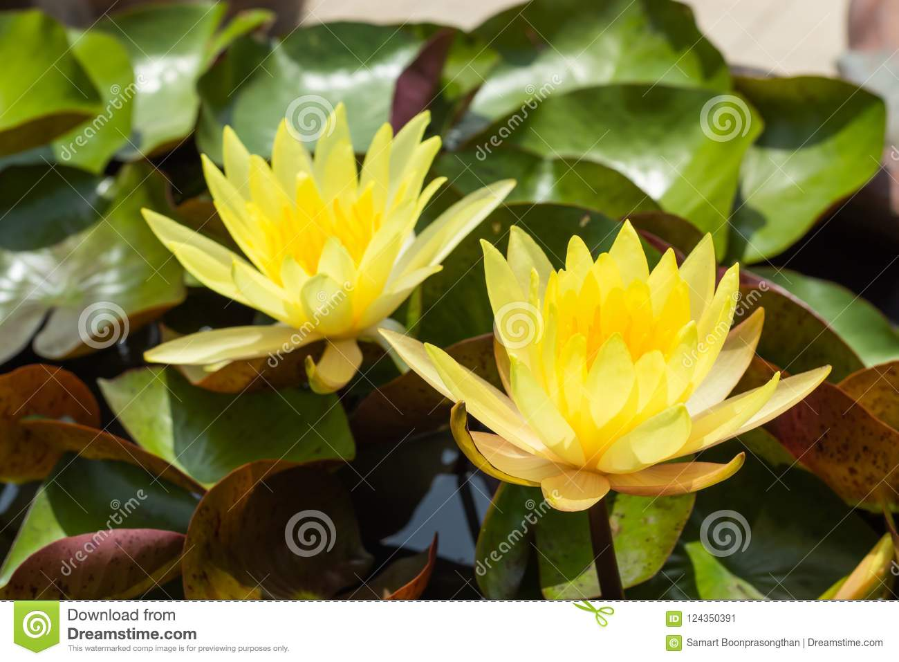 Yellow Lotus Flower In Garden Stock Image Image Of Floral