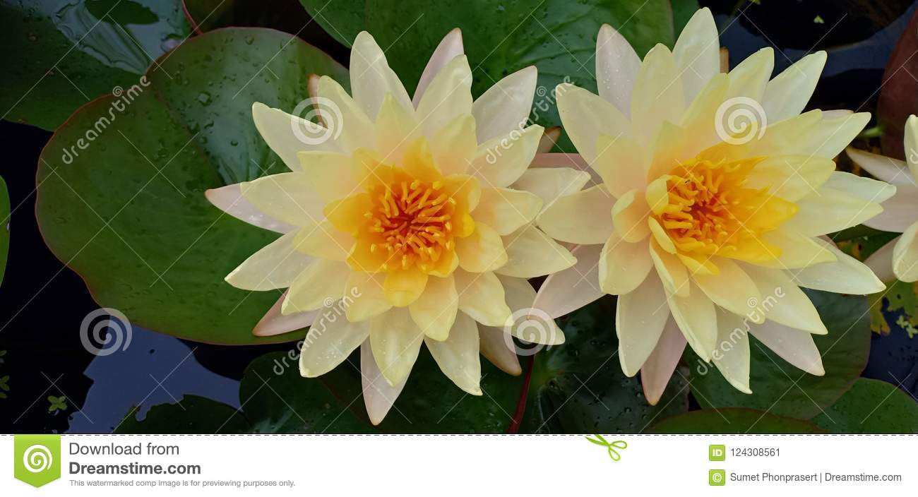 Yellow Lotus Flower In Pond Stock Image Image Of Plant Green