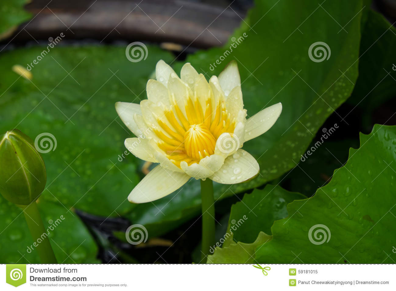 Yellow Lotus Flower Stock Image Image Of Flower Plant 59181015