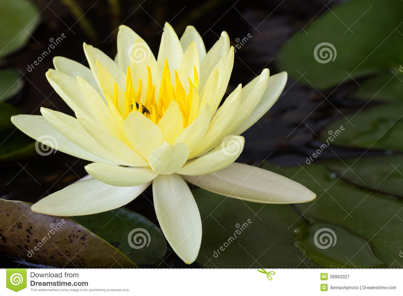 Yellow Lotus Flower Or Water Lily Flowers Stock Image Image Of