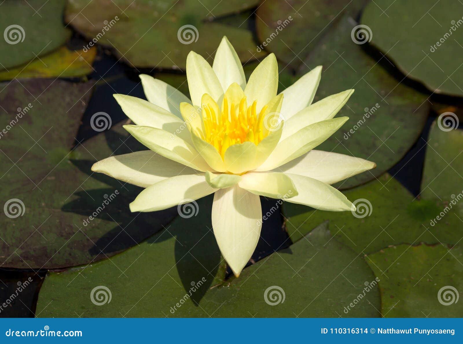 Yellow Lotus Flower Stock Photo Image Of Plant Lotus 110316314