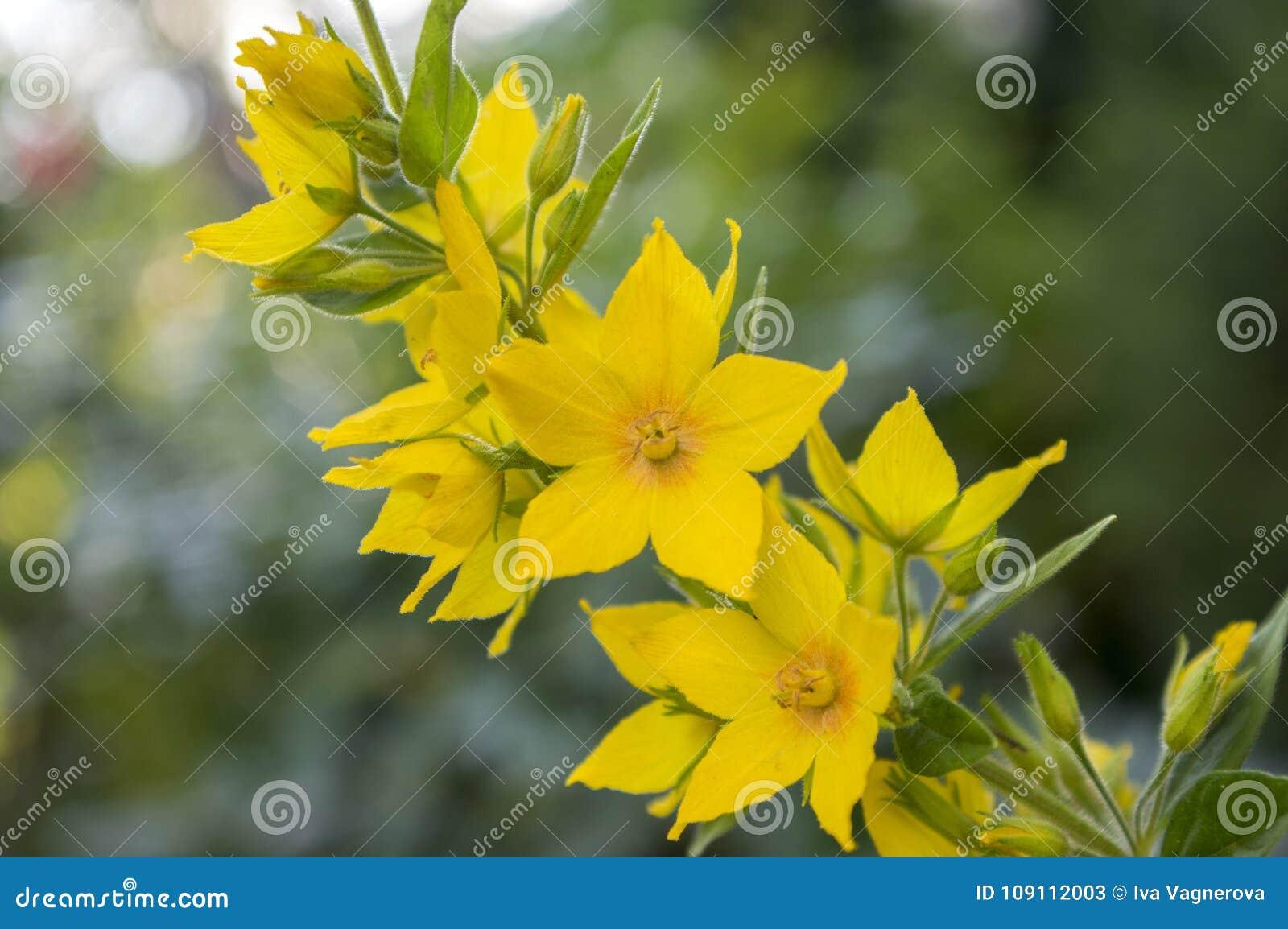 Yellow lysimachia punctata in bloom stock image image of botany download yellow lysimachia punctata in bloom stock image image of botany outdoors 109112003 mightylinksfo