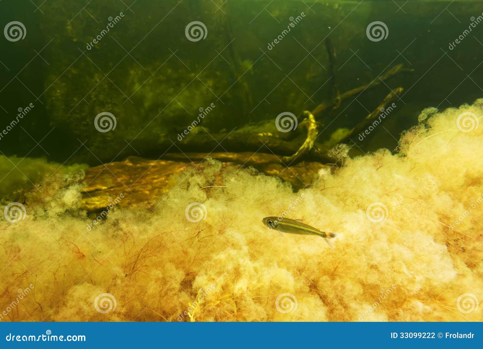 Yellow Macarenia Clavigera With Fish Stock Photography