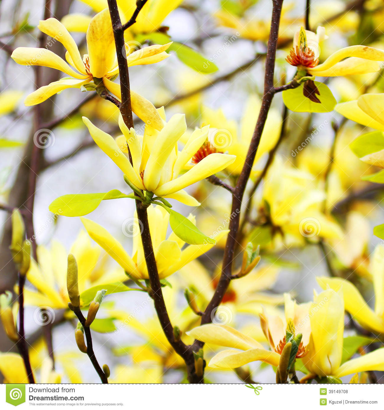 Yellow Magnolia Tree Blossoms Stock Photo Image Of Flower Pink