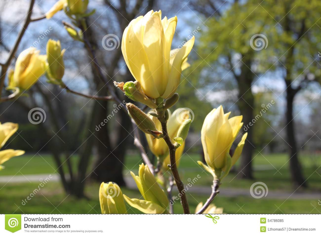 Yellow Magnolia Tree Flowers In Spring Stock Image Image Of Yellow