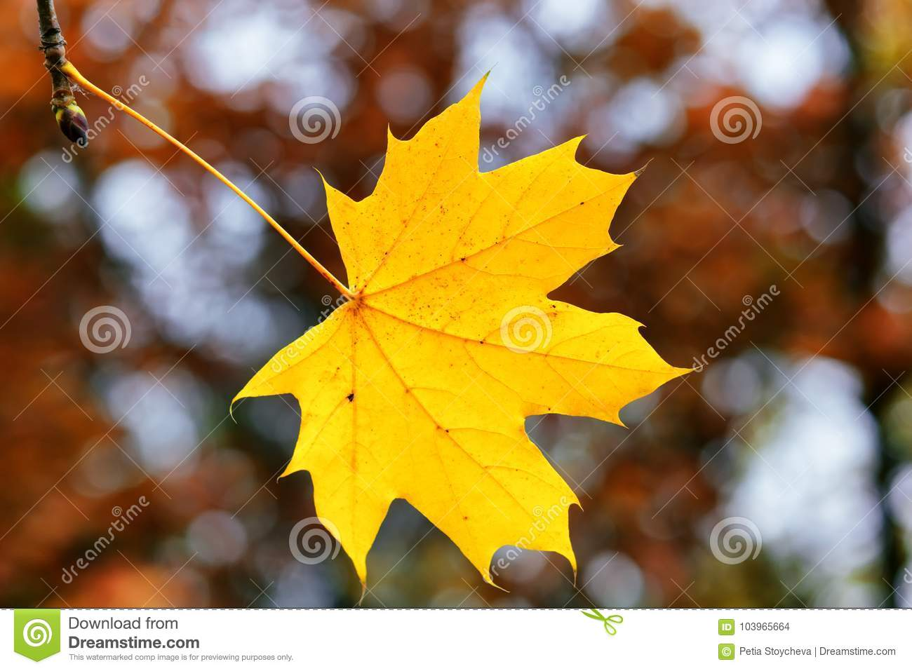 yellow maple leaf on a blurred autumn trees background fall season